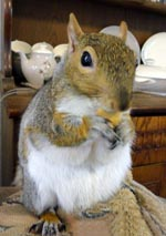Sammi Squig the Grey Squirrel - Sammi