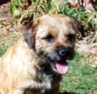 Quake - Border Terrier