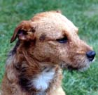 Tarn - Fell Terrier