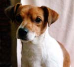 Toby - Jack Russell Terrier - Rainbow Bridge