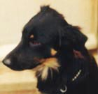 Worzel - Black and Tan Border Collie - Rainbow Bridge