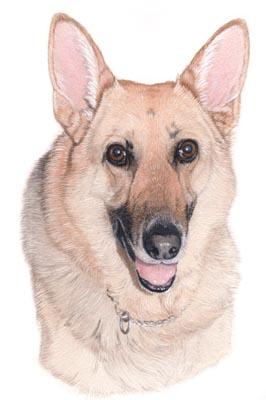 German Shepherd Husky Mix Dogs Picture