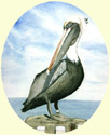Click for larger image of Pelican