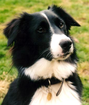 Skye the Border Collie