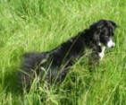 Border Collie Skye hunting for mice and frogs in the long grass.