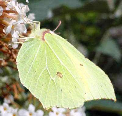 Pet Portraits - Brimstone Butterfly
