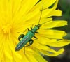 Male Flower Beetle (Fat Legged Beetle) photo by Isabel Clark, pet portraits and landscape artist